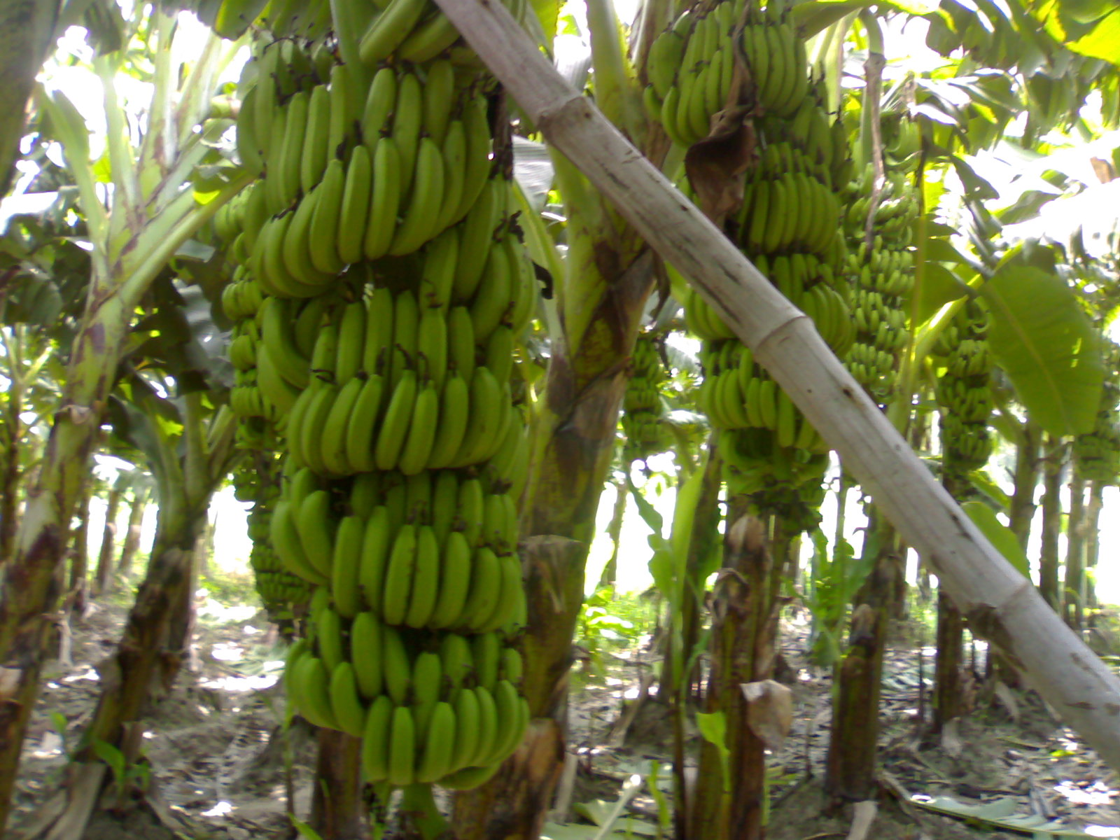 Le banane in costa rica dalla chiquita al biologico for Pianta di banana