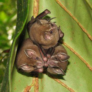 Pipistrello 1