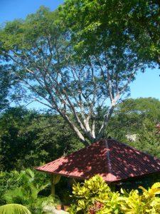 L' albero di Guanacaste