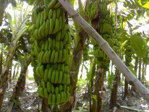 banana fruit